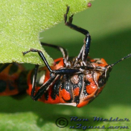 Stink Bug - Perillus strigipes - male - female