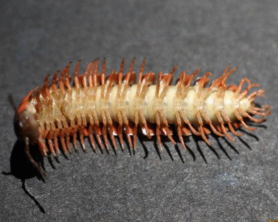 Millipede in North Alabama - Brachoria - BugGuide Net