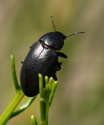 Shiny black, climbing Tenebrionidae. Epitragini?