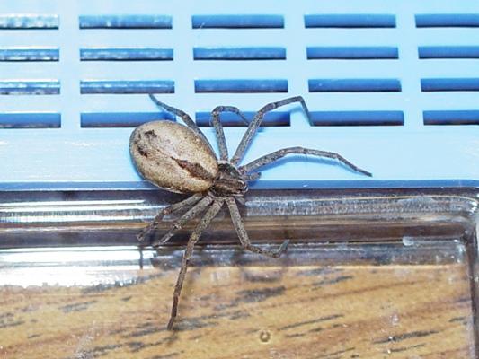 Running Crab Spider - Thanatus vulgaris - female