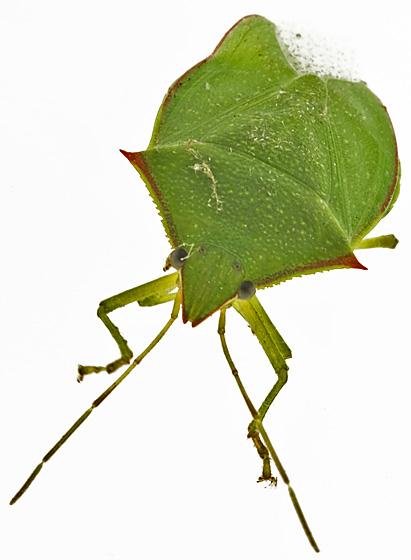 Stink bug id - Loxa
