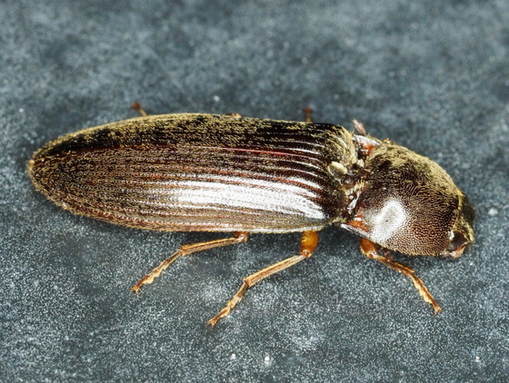 Large Click Beetle - Hemicrepidius memnonius