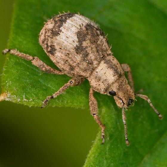 Weevil - Pseudocneorhinus obesus