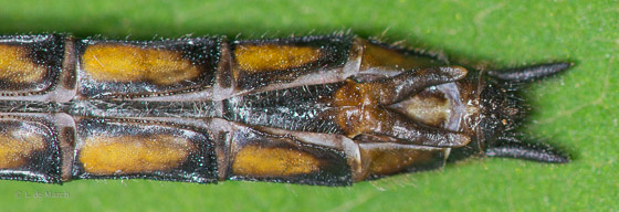 Common baskettail - Epitheca cynosura - female