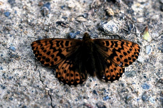 Simular to Great Spangled Fritillary Buttefly  - Boloria