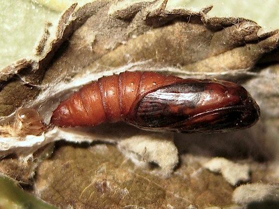 Late pupa - Acleris variegana