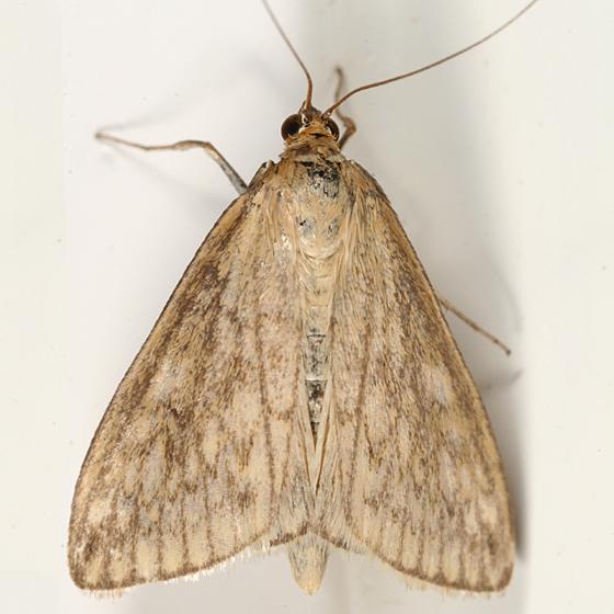 moth - Sitochroa chortalis