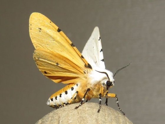 Salt Marsh Moth - Hodges#8131 - Estigmene acrea