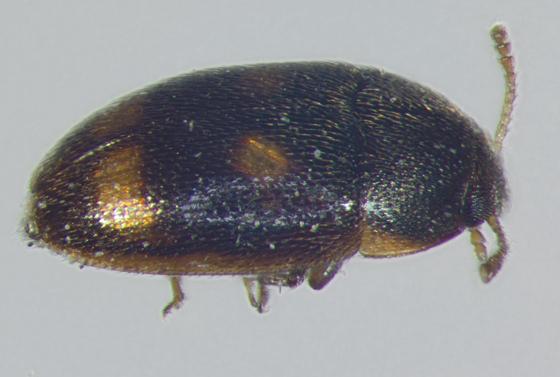 Mycetophagidae, dorsal lateral - Litargus tetraspilotus
