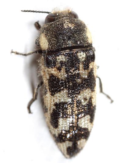 Metallic Wood-boring Beetle - Acmaeodera variegata