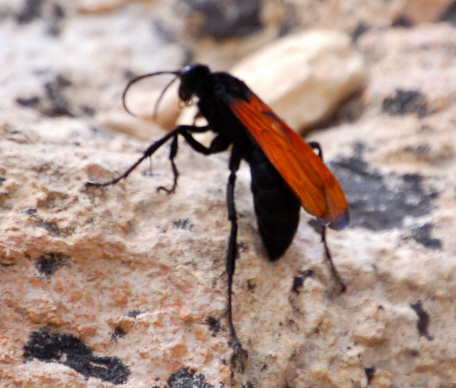 Large Black Wasp with Orange-Red Wings - Pepsis