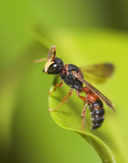 Tiny Wasp - Cerceris rufopicta - male