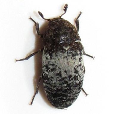Common Carrion Beetles - Dermestes marmoratus