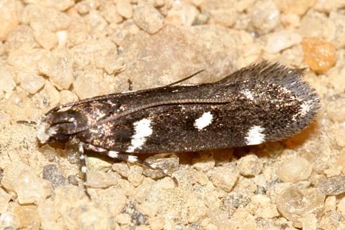 spotted moth - Aroga compositella