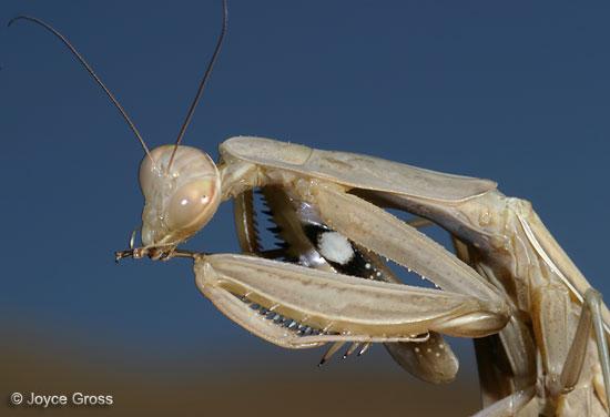 European Mantis - Mantis religiosa - Mantis religiosa