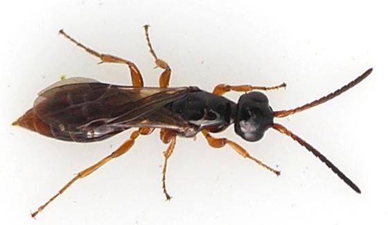 wasp - Sierolomorpha canadensis - female