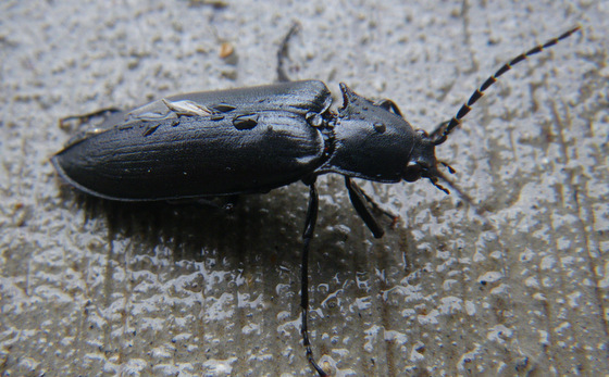 Beetle - Perissarthron trapezium