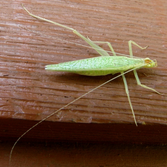 tree cricket - Oecanthus fultoni - female
