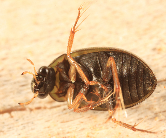 some kind of water beetle? - Berosus