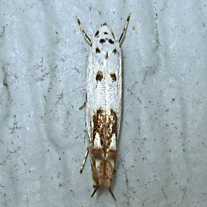 Red-streaked Mompha - Hodges #1443 (Mompha eloisella) - Mompha eloisella