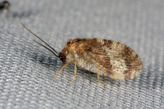 Corrected name - Brown Lacewing - Megalomus fidelis