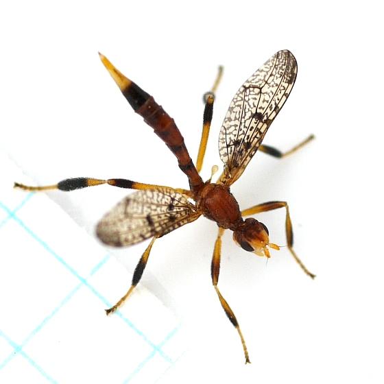 Fly  - Pyrgotella chagnoni - female