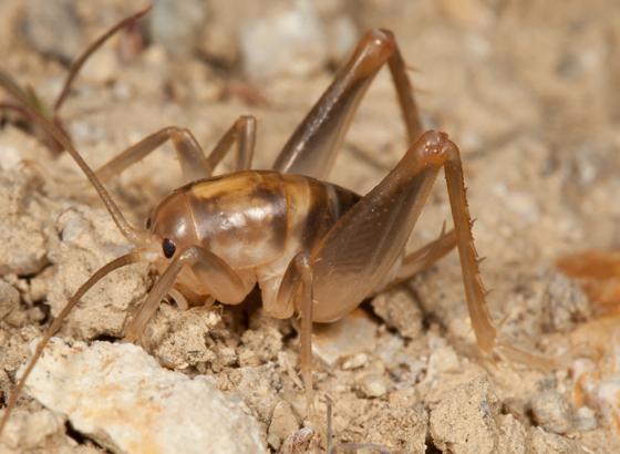 Camel Cricket - Ceuthophilus californianus - female