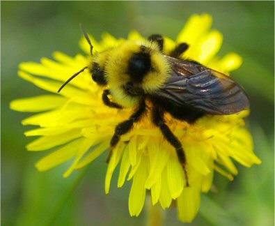 Bumble Bee and Dandelion - Bombus insularis
