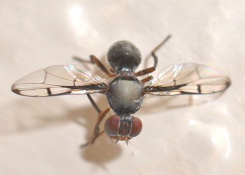 Fly waves its wings back and forth a lot - Pogonortalis doclea