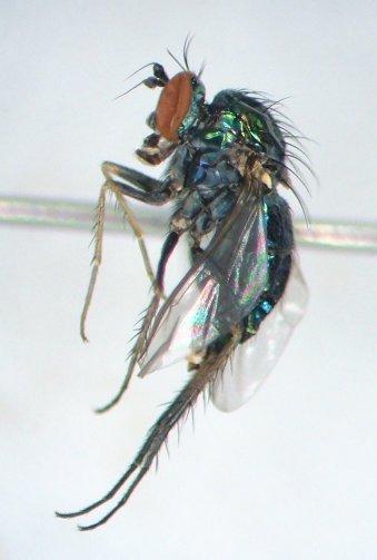 Dolichopus retinens - female