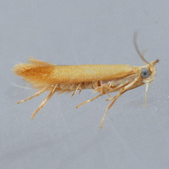 Unidentified  - Coptotriche fuscomarginella