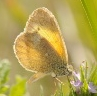 small yellow butterfly - Nathalis iole