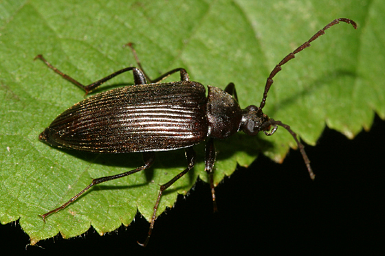 Comb-clawed Beetle - Capnochroa fuliginosa
