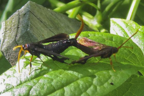 Clearwing Borer Moth - Alcathoe caudata - male - female