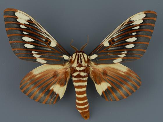 Citheronia splendens sinaloaensis - Citheronia splendens