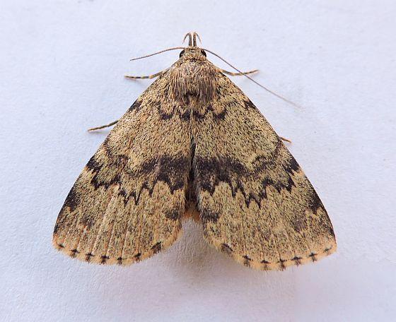 Moth - Idia denticulalis