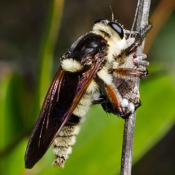 FlyRobberTBID08252014 - Mallophora bomboides