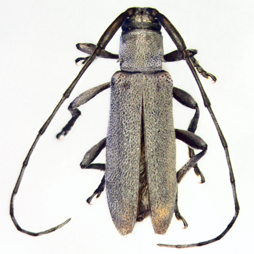 Cerambycidae, dorsal - Dectes sayi
