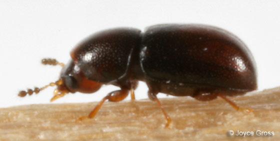 beetle - Ceracis