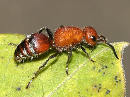Velvet Ant - Timulla vagans