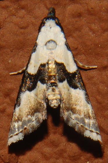 Thin-winged Owlet Moth - Nigetia formosalis