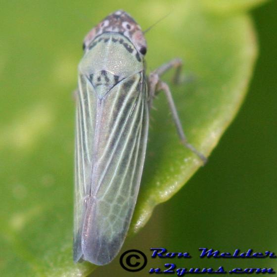 Leafhopper - Xyphon reticulatum