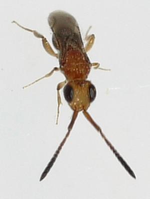 wasp - Ceraphron