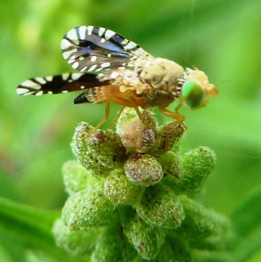 tiny fly - Euaresta bella