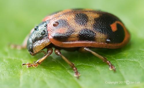 Unknown Beetle - Chrysomela