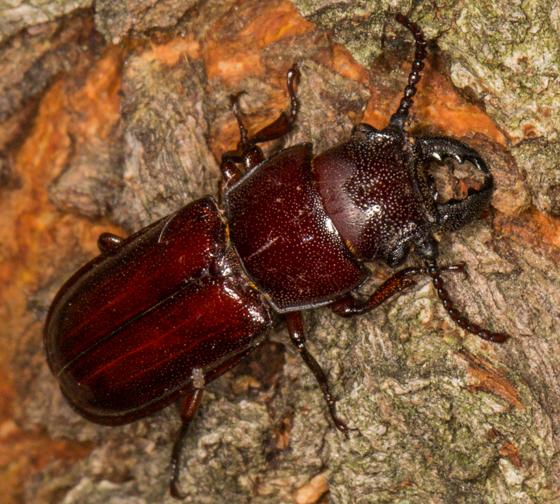 Beetle  Pole Borer (Neandra brunnea)? - Neandra brunnea - male