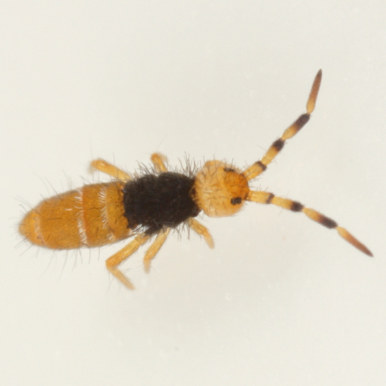 Springtail wearing black sweater - Orchesella flora