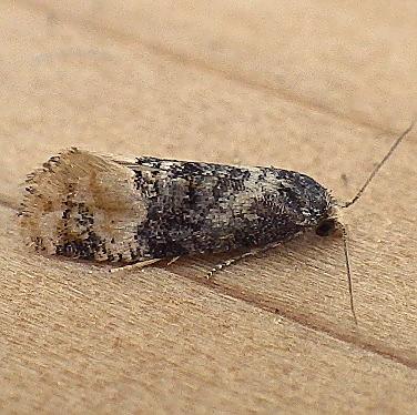 Tortricidae: Thyraylia nana  - Thyraylia nana