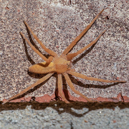 Orange Spider - Pisaurina mira