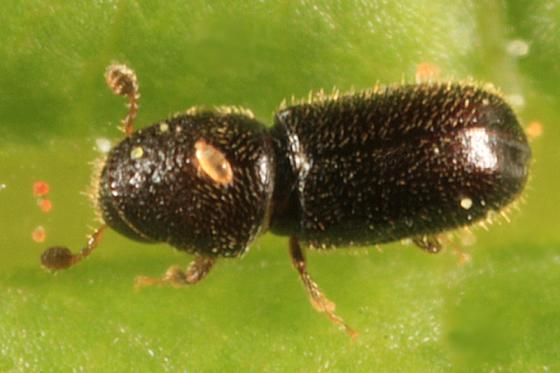 Pityophthorus sp.? - Pityophthorus